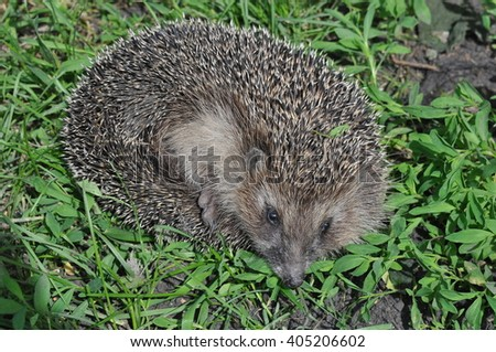 A young hedgehog close up