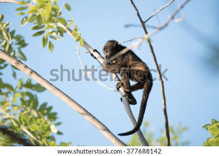 A young howler monkey climbing a tree branch - stock photo