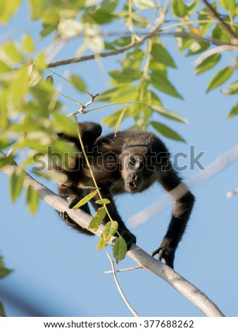 A young howler monkey playing in a tree - stock photo