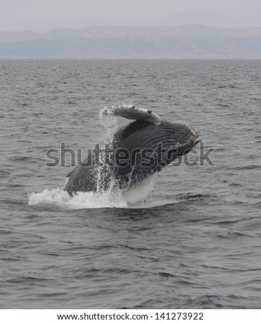 A young humpback whale breaches off the coast of California in the Pacific ocean - stock photo