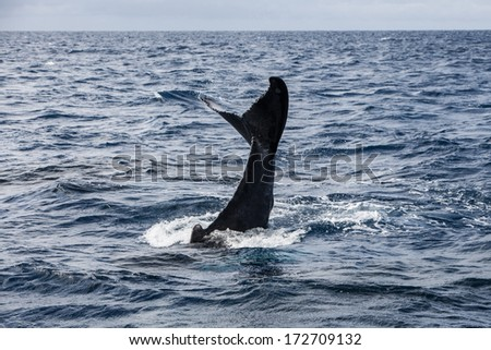 A young Humpback whale (Megaptera novaeangliae) slaps its fluke in the Caribbean Sea. Atlantic Humpbacks migrate to the Caribbean to mate and give birth then head to New England to feed.