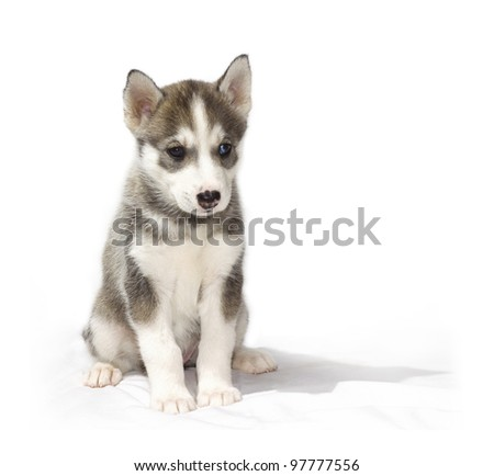 A young husky puppy sits on a soft white blanket. - stock photo