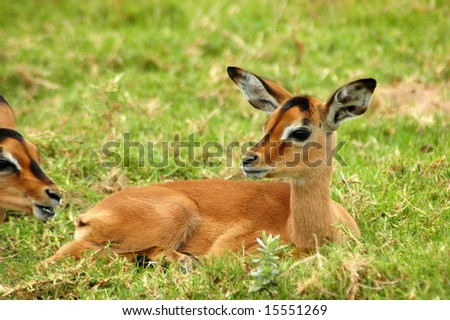A young Impala baby resting and watching other Impala antelopes in a game reserve in South Africa - stock photo