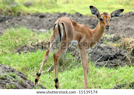 A young Impala baby standing and watching other Impala antelopes in a game reserve in South Africa - stock photo