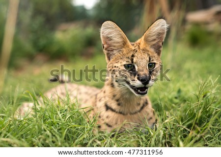 A young juvenile serval relaxing in the soft green grass