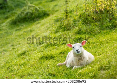 A young lamb, with translucent ears because of the backlight, is lying in the meadow and looking with big eyes at the photographer. - stock photo