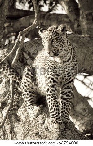 A young leopard sits in a tree in the Masai Mara (sepia). - stock photo