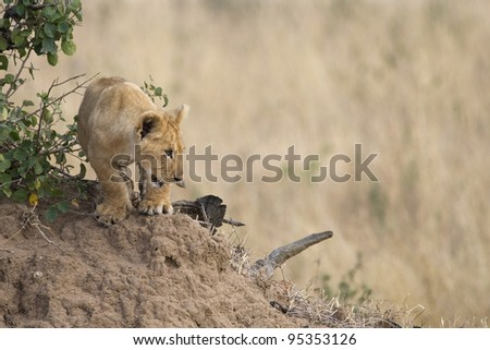 A young lion cub in the Masai Mara. - stock photo