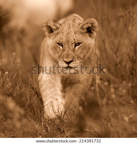 A young lion cub in this sepia tone portrait