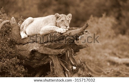 A young lion cub looks over their territory while playing and sleeping on a broken tree.South Africa - stock photo