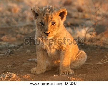 A young lion cub (Panthera leo) sitting down in early morning light, South Africa - stock photo