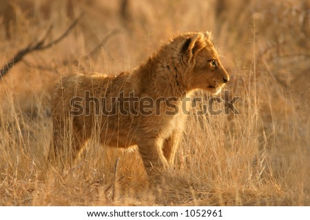 A young lion cub (Panthera leo)  standing among grass, South Africa