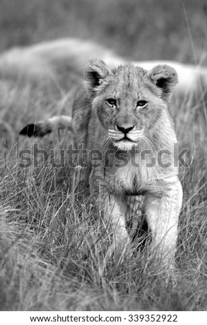 A young lion cub stares at us while his big white male father sleeps behind him in the grass. South Africa - stock photo