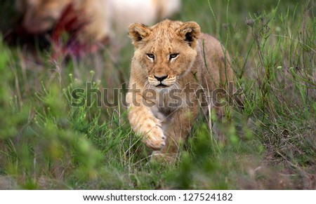 A young lion cub walks towards the camera in this profile photo from South Africa - stock photo