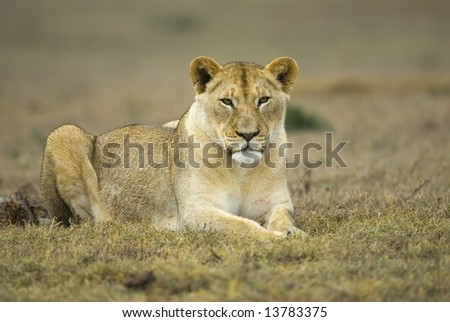 A young lioness rests on the plains and stares at the photographer