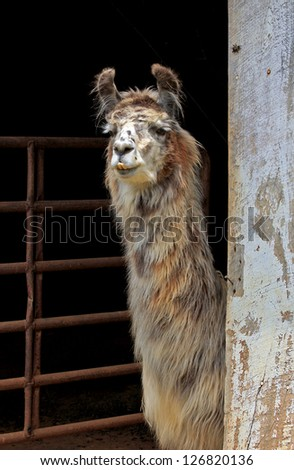 A young Llama peeks out from a barn. - stock photo