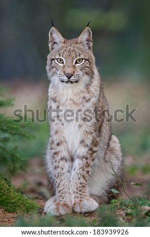 A young lynx.