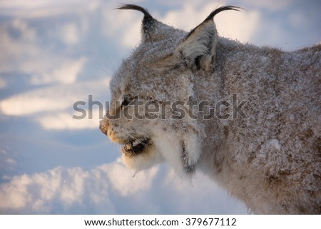 A young lynx, Eurasian lynx (Lynx lynx). With snow in its fur. A portrait also showing the characteristic ear tassels on the lynx. - stock photo