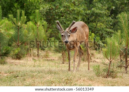 "a young male ""buck""  Black-tailed deer - stock photo"