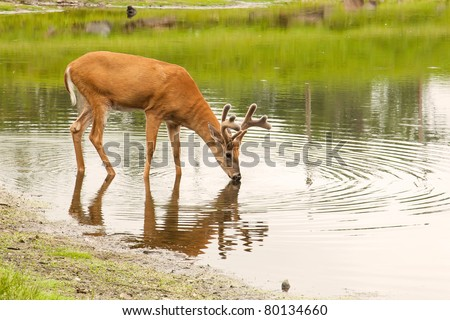 A young male deer (buck) drinks from a peaceful lake. - stock photo