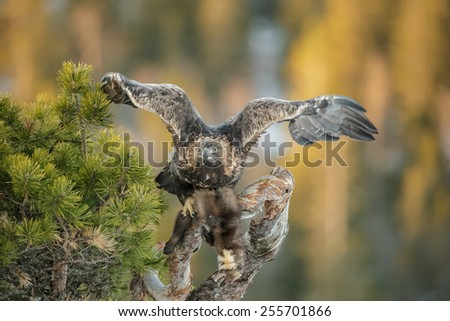 A young male Golden Eagle has been feeding on a Pine Marten but is crouching in alarm at something it has seen. - stock photo