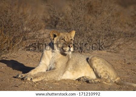 A young male Lion (Panthera leo) lying down amongst thorn scrub in the Kalahari desert, Kgalagadi transfrontier park, South Africa - stock photo