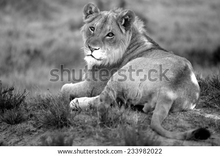 A young male lion rests and looks at the camera in this image. - stock photo