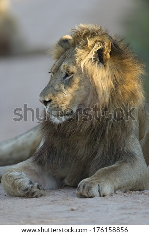 A young Male lion rests in the road in the shade - stock photo