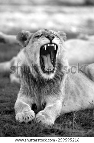A young male lion shows off his teeth. - stock photo