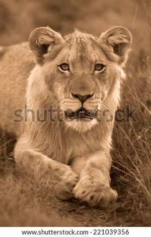 A young male lion stares intensly at the camera.