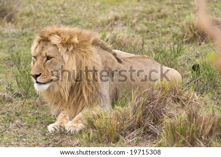 A young Male lion watches its prey coming closer