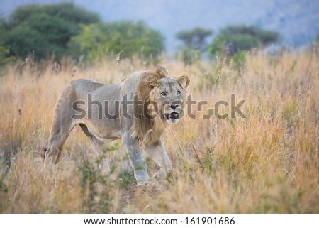 A young male lion with a small mane strolling through tall grass at dusk in Pilanesberg National Park, South Africa - stock photo
