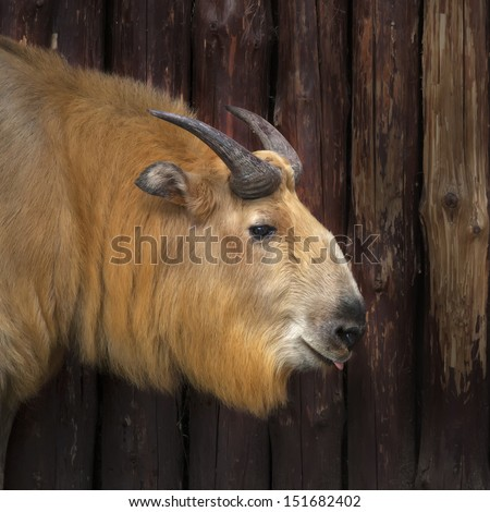 Tesao esse asian mountain goat the