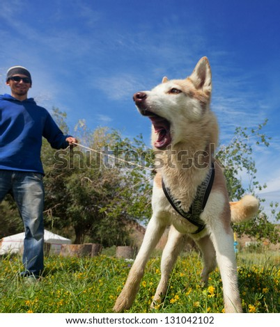 A young man and dog breed husky - stock photo