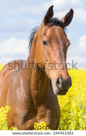 A young mare standing in blooming field - stock photo