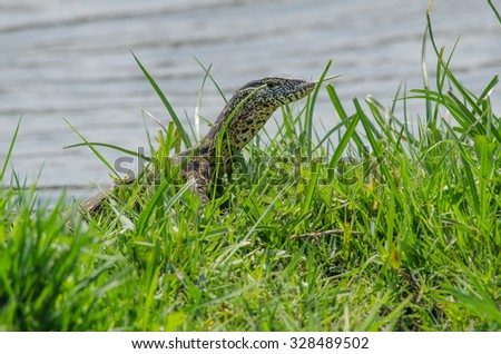 A young monitor lizard puts its head above the green grass - stock photo
