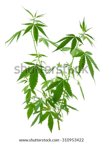 A young new growing cannabis (marijuana) plants  - stock photo