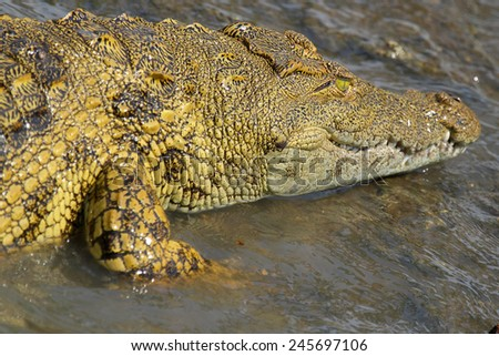 A young Nile Crocodile, Crocodylus niloticus, in the water in Serengeti National Park, Tanzania - stock photo