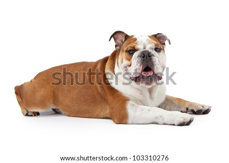 A young nine month old English Bulldog laying down against a white background and looking at the camera - stock photo