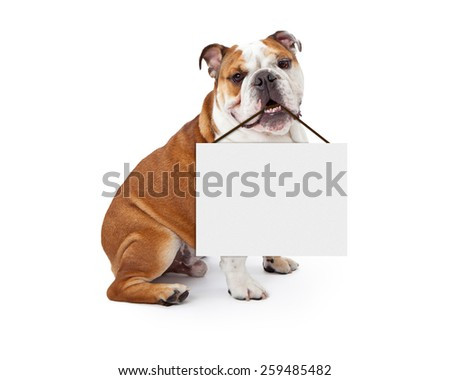 A young nine month old English Bulldog sitting against a white background holding a blank sign in his mouth - stock photo
