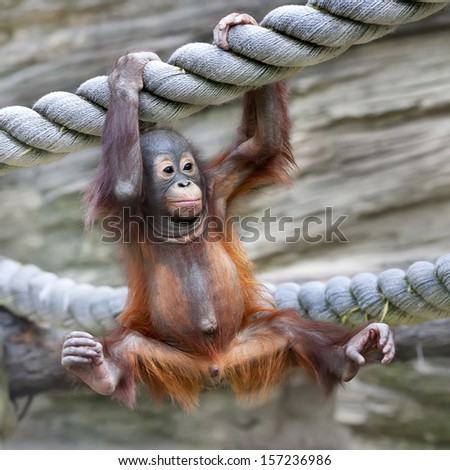 A young orangutan is ready for low catch. Cute and cuddly cub with cheerful expression. Careless childhood of little great ape. Human like primate.  - stock photo