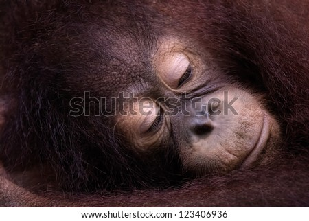 A young Orangutan rests its head in its arms in Sabah, Malysian Borneo - stock photo