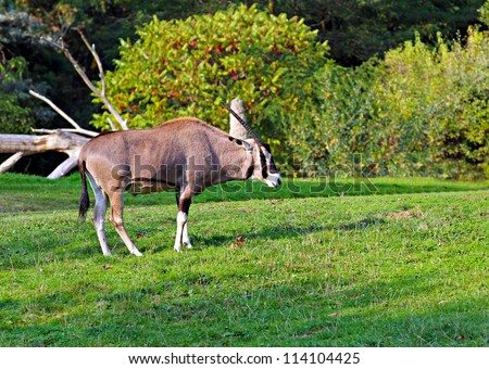 a young oryx grazing in a field