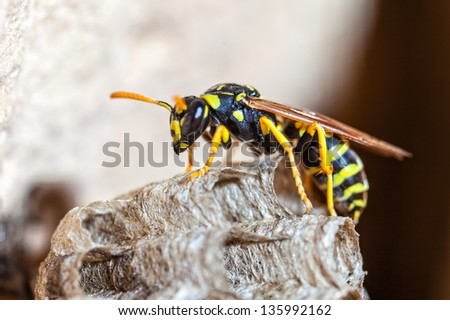 A young Paper Wasp Queen builds a nest to start a new colony. - stock photo