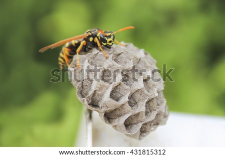 A young Paper Wasp Queen builds a nest to start a new colony - stock photo