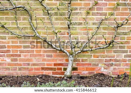 A young pear tree against a brick wall