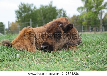 A young Plains Wood Bison cross calf in the pasture