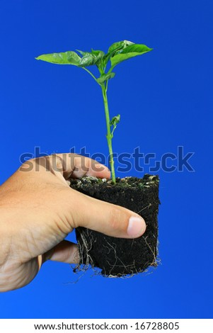 A young plant being held in the hand against a bright blue sky background. Sapling is a young green pepper plant. - stock photo