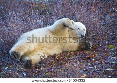 a young polar bear plays on the tundra soil waiting for the snow - stock photo