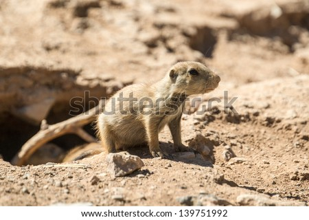 A young prairie dog pup emerges watchfully from its underground burrow.
